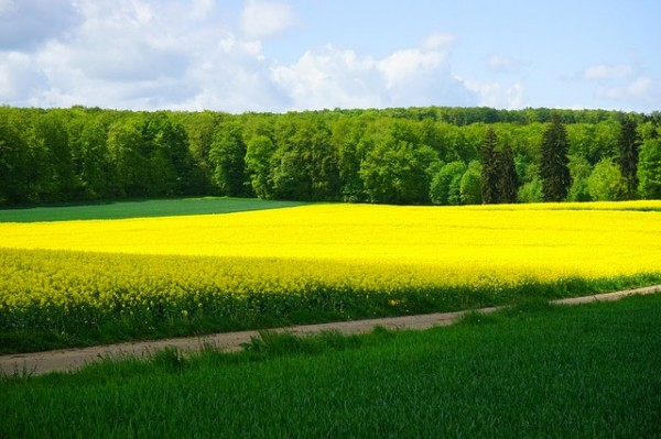 菜の花畑のイメージ